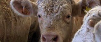 Кормление быков производителей организуют по особой схеме