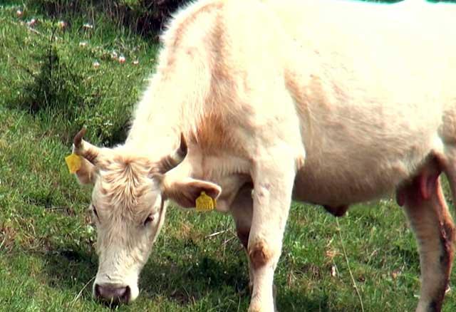 Нетель поедает траву
