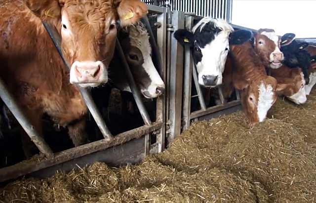 Коровы у кормушки
