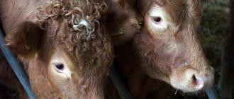 Самостоятельно откормить теленка непросто