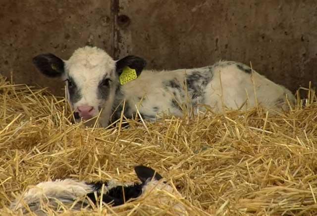 Поить теленка из ведра можно только с 3-х недель