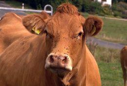 Препараты для коров