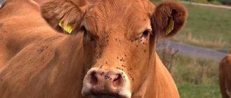 Защите скот от укосов насекомых