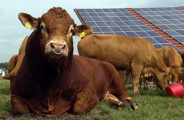 Больных коров лучше изолировать от стада