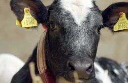 Коровье молозиво для теленка
