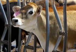 Признаки скорого отела у коровы