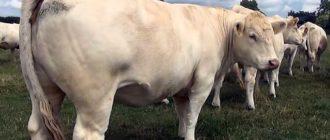 Случаи, когда послед у коровы не выходит, встречаются нечасто