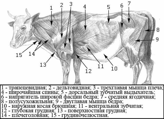 Поверхностные мышцы крупного рогатого скота