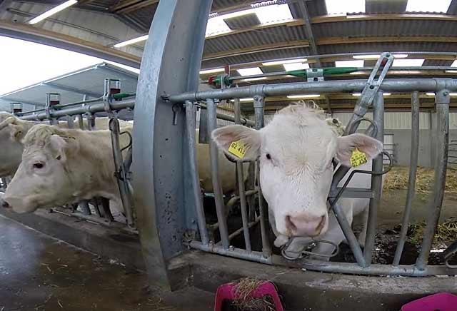 Мясные коровы в стойлах