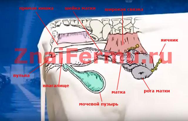 Строение репродуктивной системы коровы