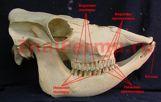 Расположение зубов