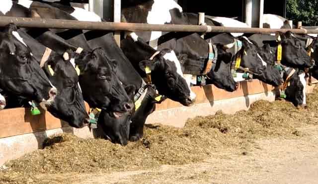 Комолые коровы на ферме
