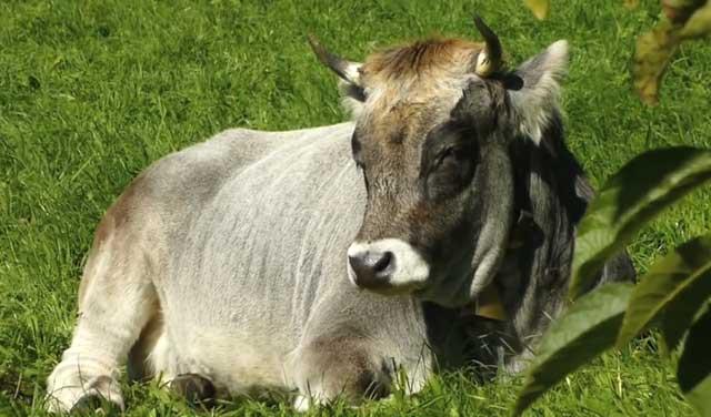 Наевшись коровы отдыхают