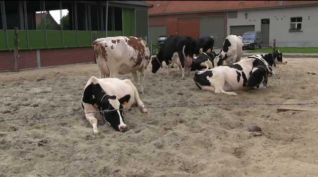 Коровы должны иметь свободный доступ к воде