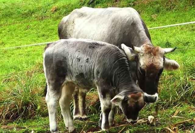 Мать с теленком кушают