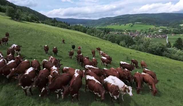 Коровы не должны уставать