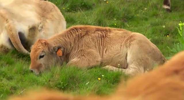 После родов корове нужен отдых