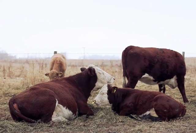 От ухода зависит качество мяса