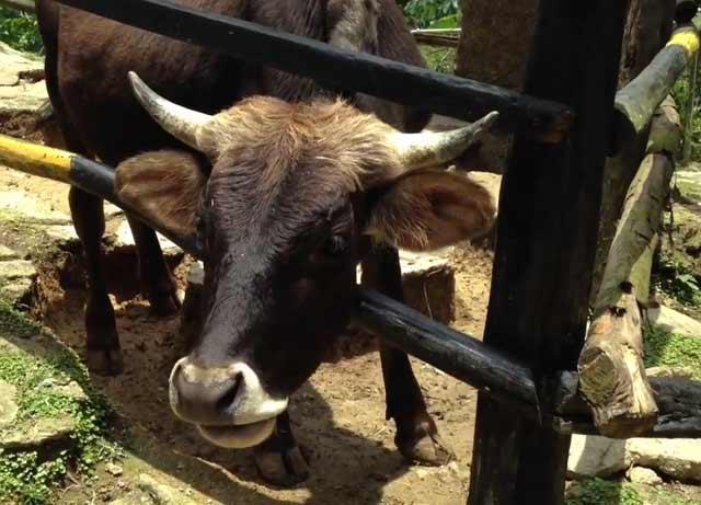 Коровья голова очень массивная