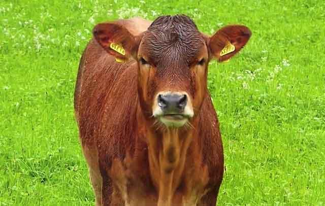 У коровы очень сложная пищеварительная система