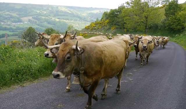 Коровы идут по асфальту