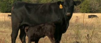 Мама с теленком на выпасе
