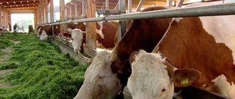 Современный вид коров