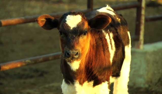Подросший теленок