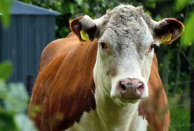 Бесплодие коров