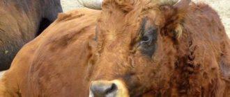 Породистый бык