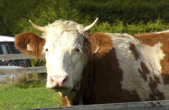 Пятнистая корова