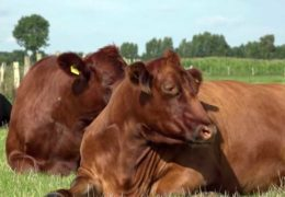 Как доить коров руками