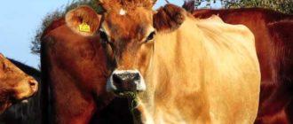 Корова в стаде
