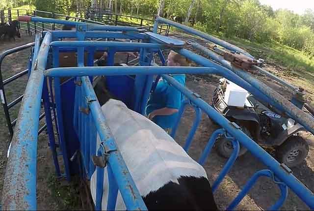Поилки для крупного рогатого скота: автопоилки
