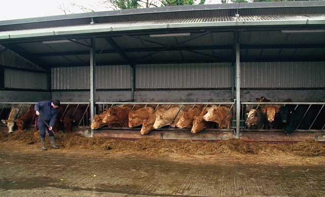 В случае опасности коров нужно быстро вывести