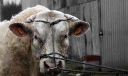 Упряжь и намордники для быков