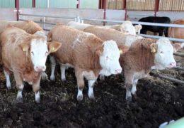 О перегное крупного рогатого скота