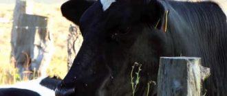 Коровы - кормилицы