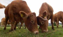 Что делать с бодливой коровой