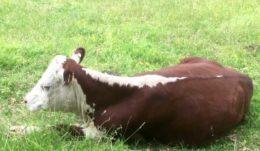 Как и сколько спит корова