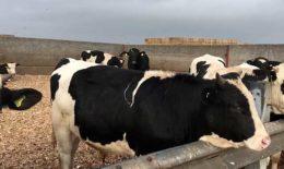 О выращивании бычков на мясо в домашних условиях