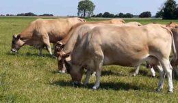 Бизнес на разведении коров на молоко