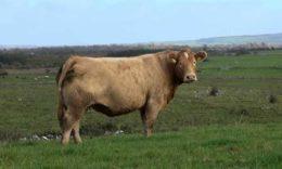 Причины крови в молоке и лечение коровы