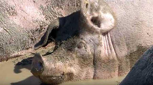 Попадают в желудок животного вместе с водой и пищей