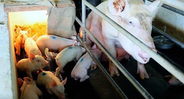 В зоне риска малыши после отъема от свиноматки