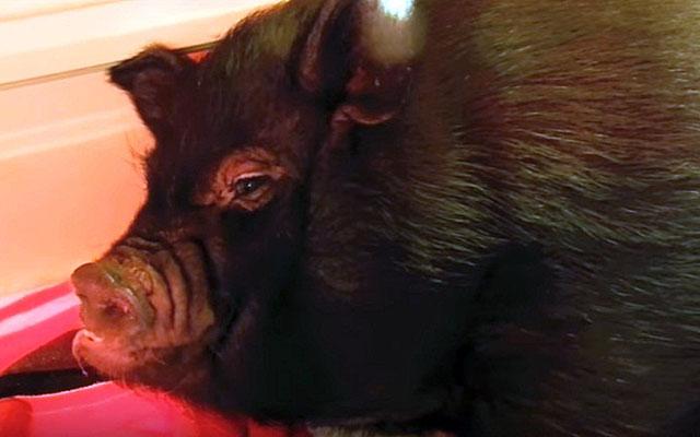 За свиноматкой нужен особый уход