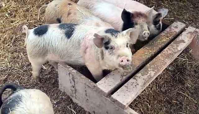 Организм свиньи - благоприятная среда для жизнедеятельности паразита