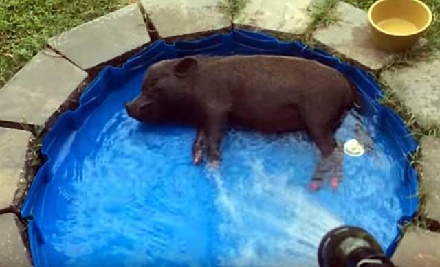 Свинки любят купаться