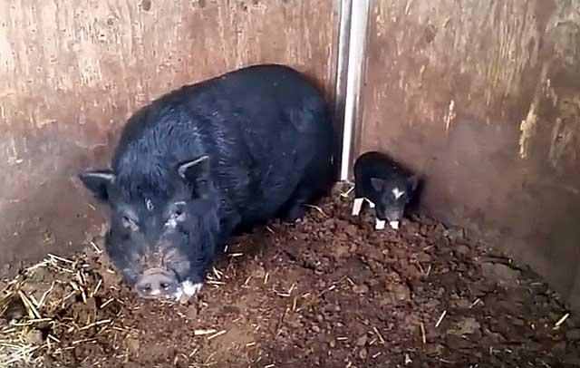 Зимой в свинарнике должно быть тепло