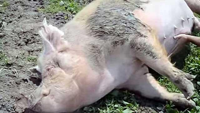 Ослабшая свинья